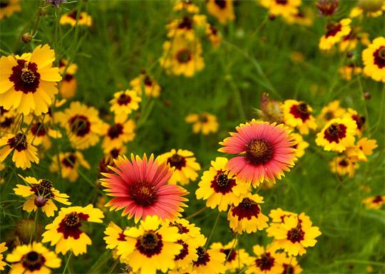 Полевые цветы нашего края и 87