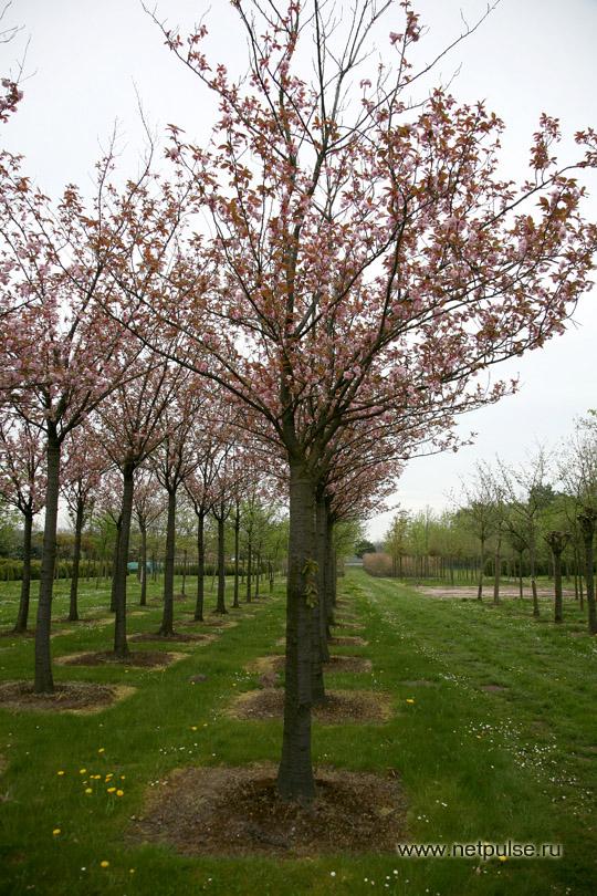 для посадки деревьев рыть