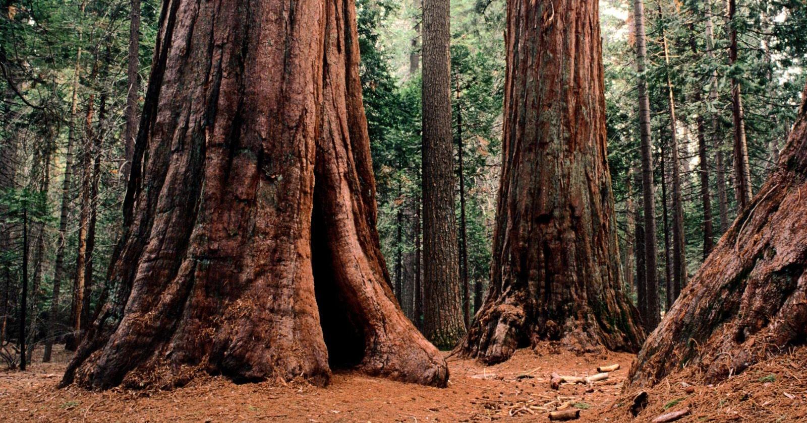 Химическое оружие деревьев