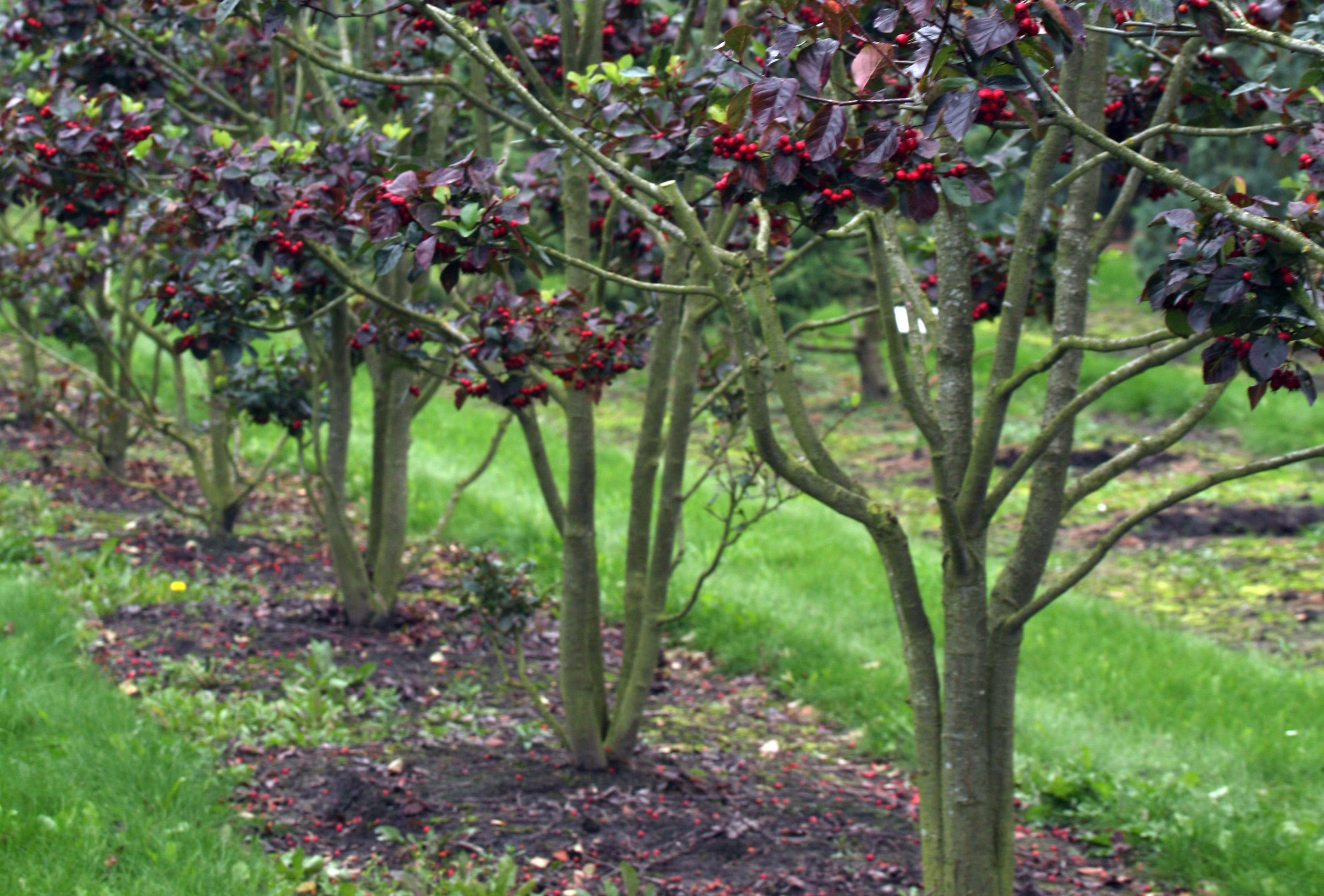 Посадка деревьев весной как сажать плодовые деревья 59